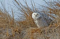 Snowy Owl : Bubo scandiacus photo by renzodionigi