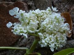 H. integrifolia