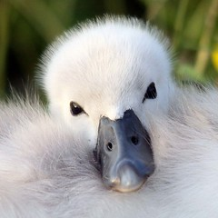 Cute cygnet photo by mrfelinfoel - 850k views, thanks all!!