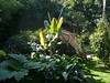 Rhubarbe Géante & Musa Helen's Hybride