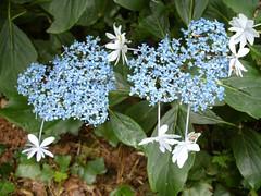 H. macrophylla 'Izu No Hana'