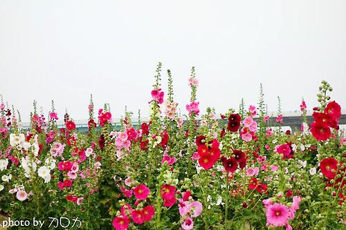 22_台南學甲蜀葵花海