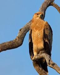 Tawny Eagle (juvenile) photo by leendert3