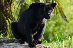 Black Jaguar. photo by PRA Images