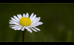 Daisy photo by Wilf41