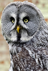 Great Grey Owl photo by n.j.coomber