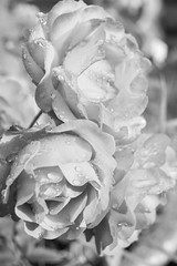 Black (And White) Roses photo by k009034