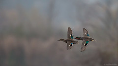 Green-winged Teals [Explored - Thanks!] photo by JMBWildlife