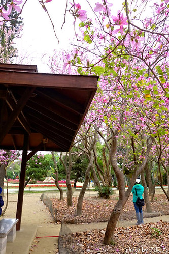 04_台南公園羊蹄甲