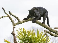 Pele on the tree photo by Tambako the Jaguar