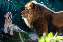 Lion time 2 photo by JustaMonster