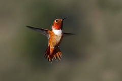 Rufous Hummingbird, Spread Tail photo by brad.schram