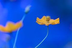 Yellow against blue photo by Masa_N