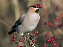 Waxwing - Bombycilla garrulus photo by normanwest4tography