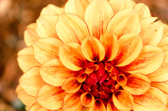 Dahlia Bloom photo by Linda Kosidlo