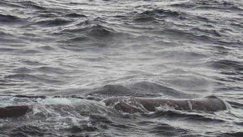 2013-0721 788 Andenes walvis 37 eerste duik
