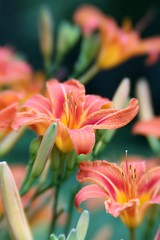 Day lilies photo by Mary Gray1