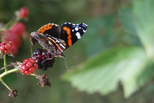 papillon Le Vulcain ou Amiral Rouge