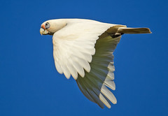 Little Corella in Flight photo by TheGreatContini