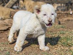 Walking white lion cub photo by Tambako the Jaguar