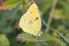 Clouded Yellow - Queendown Warren KWT photo by mikehook51