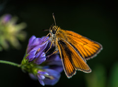Large Skipper -EXPLORED photo by Jeffferz