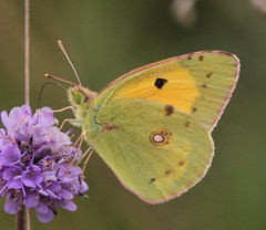 Clouded Yellow (Colias croceus) photo by Rezamink