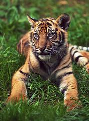 Tiger Cub photo by Ian_Boys