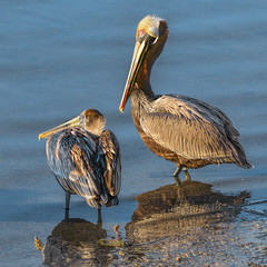 Sunning Pelicans photo by Susan Hall Frazier (very busy these days)
