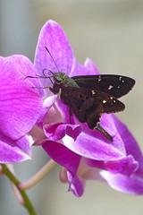 Long-tailed Skipper (urbanus proteus) photo by celerycelery