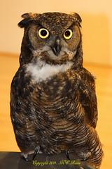 Great Horned Owl (7of 7 Photos) of Flat Rock Brook Nature Association Talk at Richard DeKorte Park (Meadowlands), Lyndhurst, NJ photo by takegoro