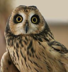 Short Eared Owl (Explored) photo by Lana Gramlich
