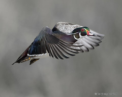 Wood Duck photo by pandatub