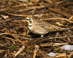 horned lark photo by babyruthinmd