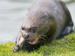 Giant otter eating fish photo by Tambako the Jaguar
