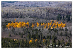 yellow tamarack copse photo by MyGallery