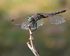 Dragonfly II photo by NikonGirl1969(busy building a portrait biz)