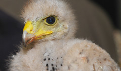 Harris hawk photo by floridapfe