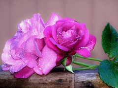 Pink Droplet Covered Roses photo by trins