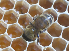 Bee and Honey photo by Chrissie2003
