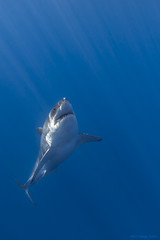Great white shark rising photo by George Probst