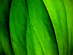 Leaf Detail. (Explored) photo by Paul Hillman.
