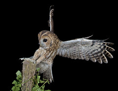 Tawny Owl (Strix aluco) photo by phil winter