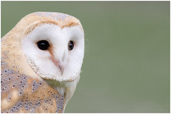 Photography Workshop Barn Owl. photo by natural diversity