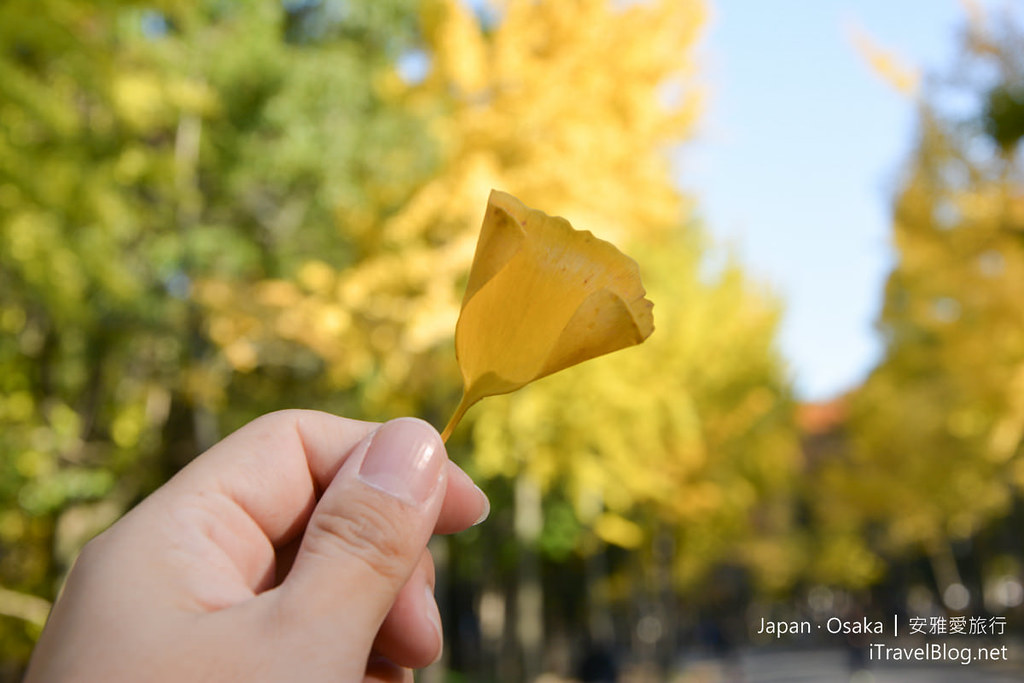 大阪城公园 赏枫 银杏