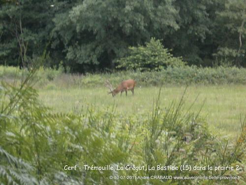 Cerf - La Bastide (Cantal) zoom 1