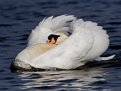 Mute Swan - Cygnus olor photo by normanwest4tography