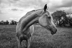 A Horse Portrait photo by Gikon