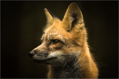 Fuchs im Portrait photo by Bluespete