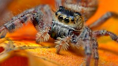 Jumping Spider, Phidippus audax (Female) photo by Pingyeh